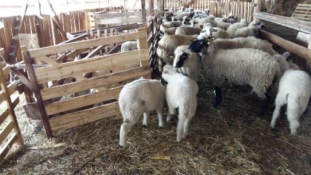 Otvaranje ugostiteljskih objekata raduje ovčare