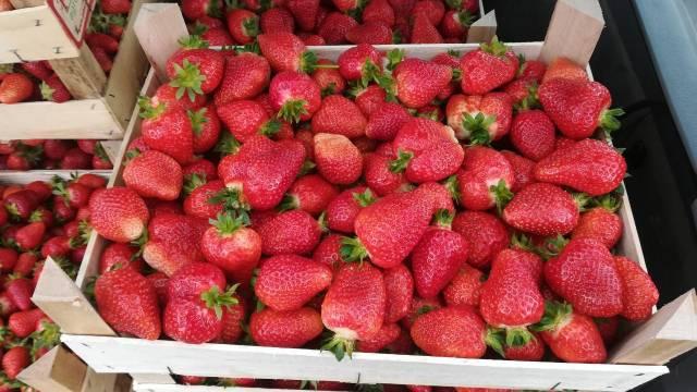 Odličan rod i cena jagoda - Proizvođači nikada zadovoljniji