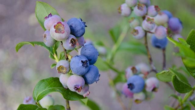 Zašto mnogi voćari prelaze na gajenje borovnice?