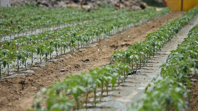 Zaštita paradajza od lisnih vaši i truleži