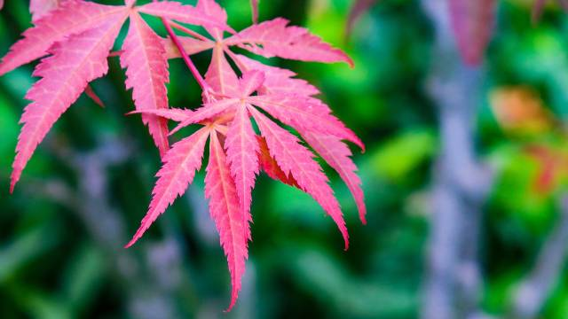 Japanski javor: Neprevaziđeni dekor vrta