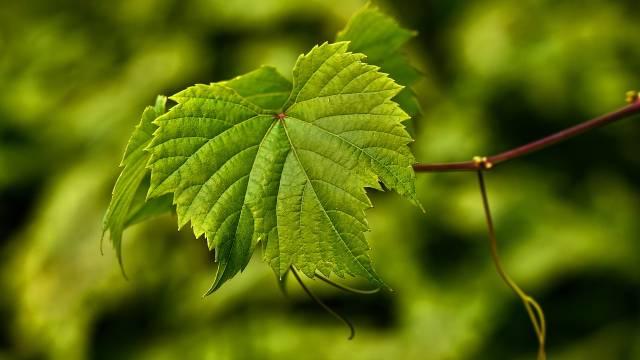 Lišće vinove loze: Zdrava hrana na dohvat ruke