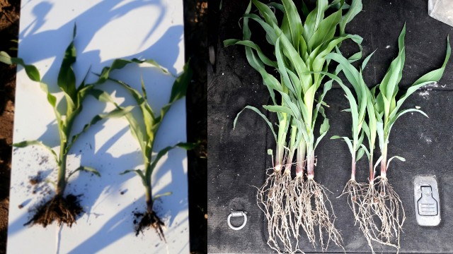 Folijarna prihrana kukuruza: Slavol i Amiksol jačaju biljke i utiču na veći prinos