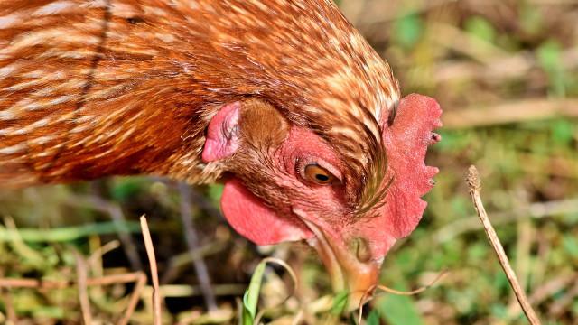 Dobre i loše strane: Da li kokoške treba hraniti insektima?
