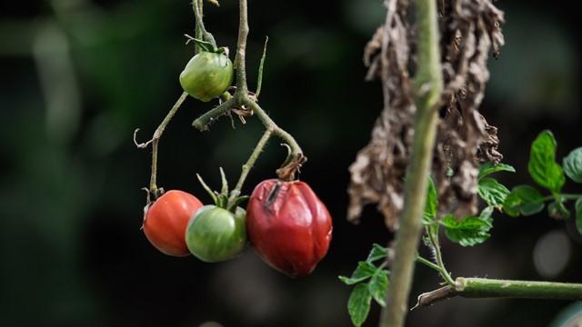 SMANJITE GUBITKE - zaštitite voće, povrće i vinovu lozu OD BOLESTI