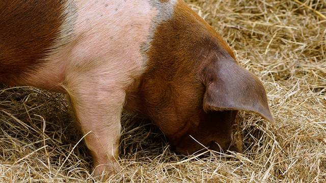Briga o svinjama: Da li je zaštita biljkama bolja od licenciranih lekova?