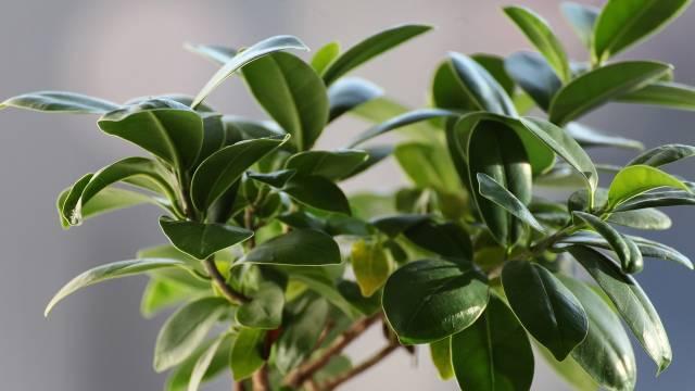 Kako se neguje fikus - Omiljena sobna biljka