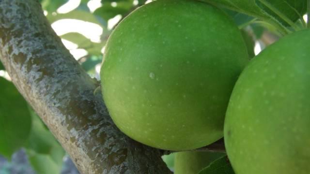 Kako efikasno suzbiti jabukinog smotavca -©Galenika-Fitofarmacija