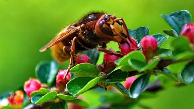 Azijski stršljen ugrožava pčele: Pandemija otežala borbu protiv ovog predatora