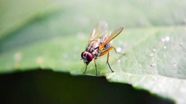 Voćne muve najviše napadaju breskve, kruške, smokve: Evo kako da ih se rešite bez insekticida