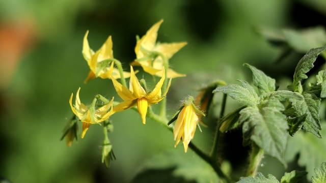 Kako da sprečite opadanje cvetova kod paradajza