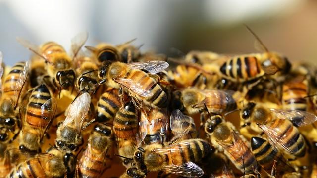 Kako upotreba antibiotika u pčelarstvu može da utiče na kvalitet meda?