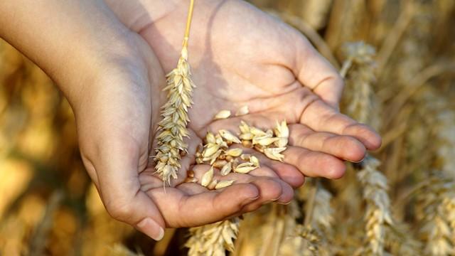 Čemu se proizvođači pšenice nadaju ove godine? - © Pixabay