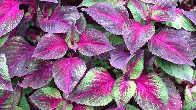 Kako se gaji perila: Mirisno, sočno i lekovito bilje