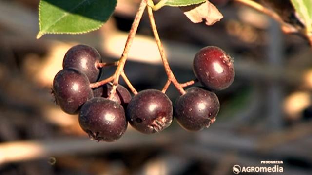 Budućnost aronije: Da li će ovo lekovito voće opstati u Srbiji?