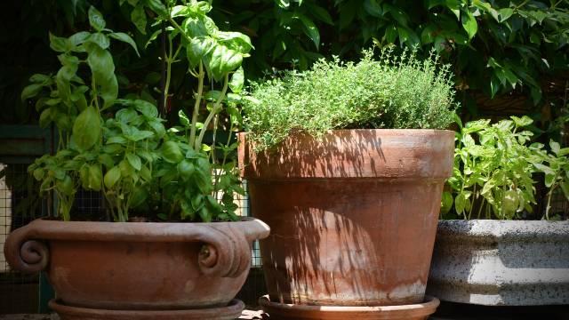 Mini biljni vrt: Saveti za uzgoj lekovitog i začinskog bilja u gradskim uslovima