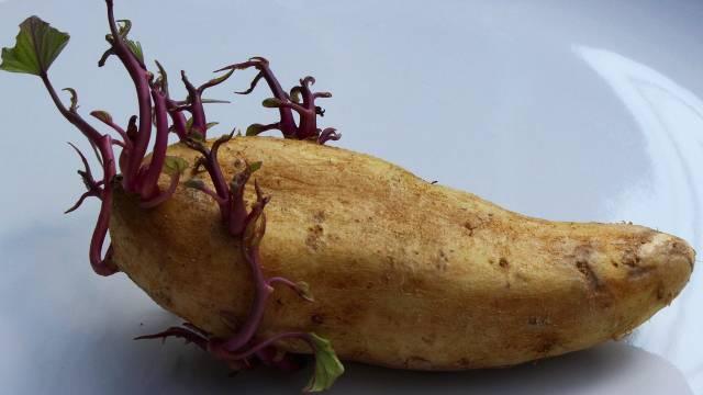 Naklijavanje krompira siguran put do većeg prinosa