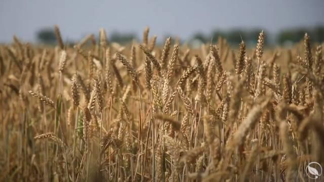 Francuske sorte pšenice - najotpornije na bolesti!