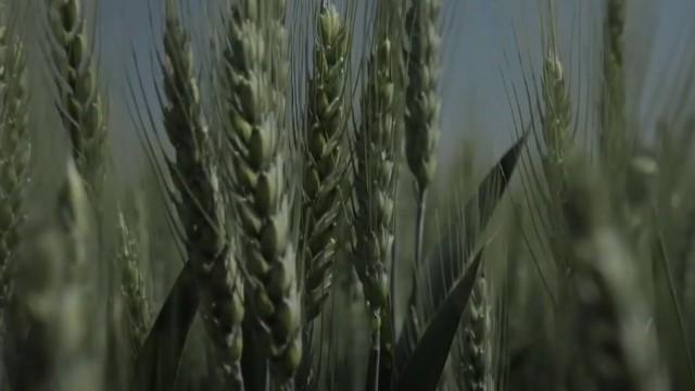 Ova sorta pšenice je izuzetno otporna na bolesti i donosi visoke prinose