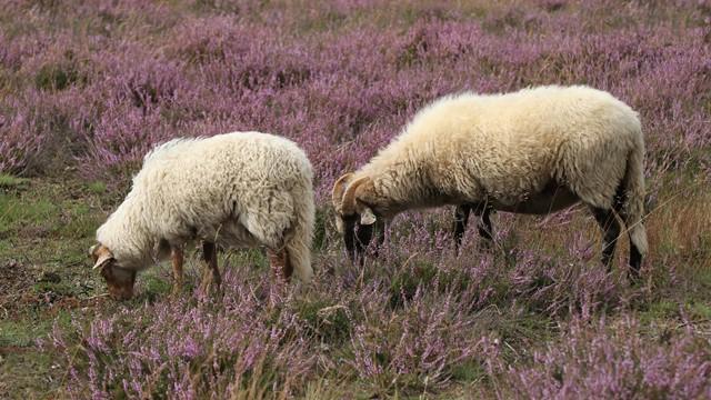 Iz ugla proizvođača: Gaji ovce već 13 godina