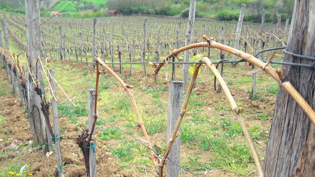 Uredno orezan vinograd - © Agromedia