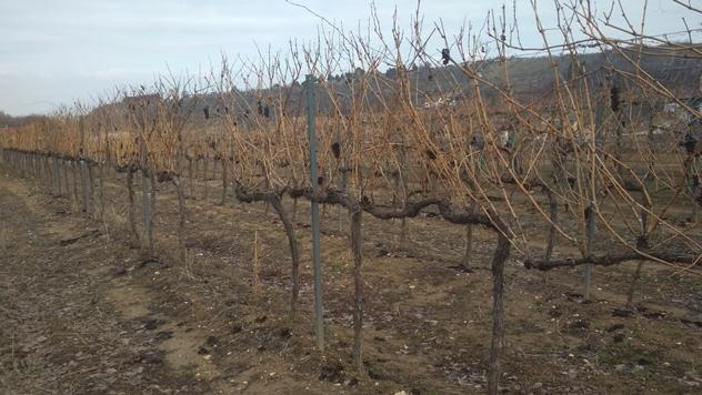 Rezidba vinove loze - © Dejan Budić/Agromedia