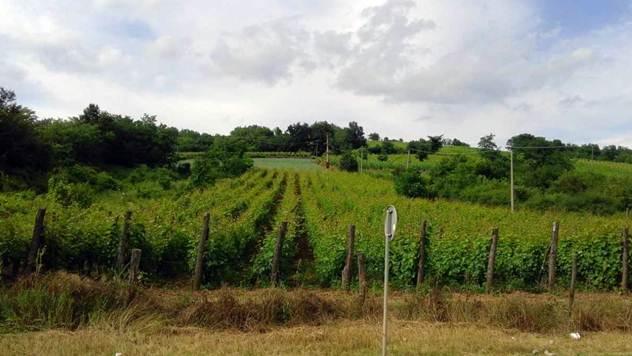 Zasadi vinove loze - © Pixabay