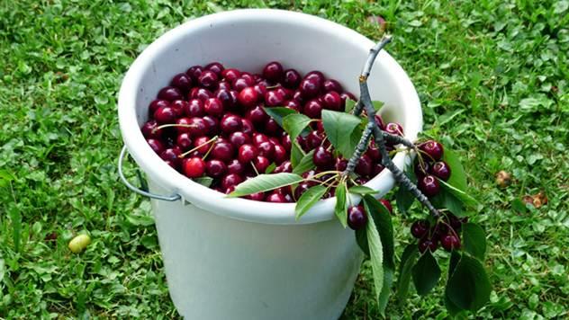 Berba višnje - © Pixabay