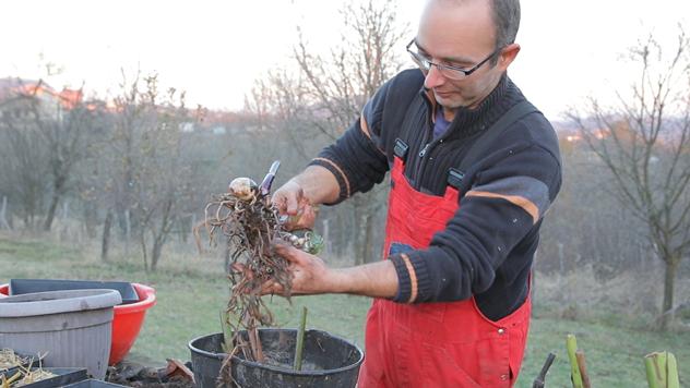 Vladimir Milutinović vadi koren kane© Agromedia