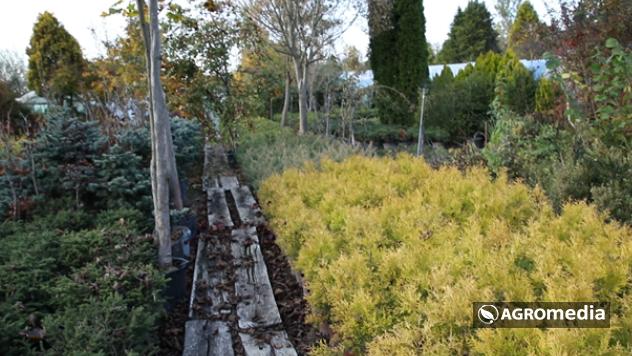 Sadnice četinara © Agromedia