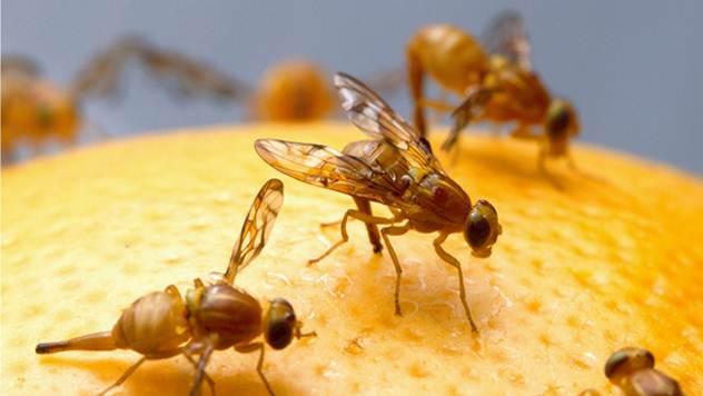Voćne mušice možete oterati uz pomoć samo 4 trika - © Wikimedia