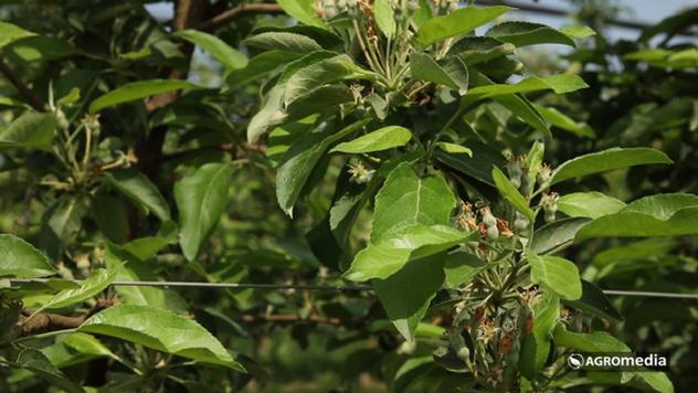 Zasad jabuke u Slankamenu © Agromedia