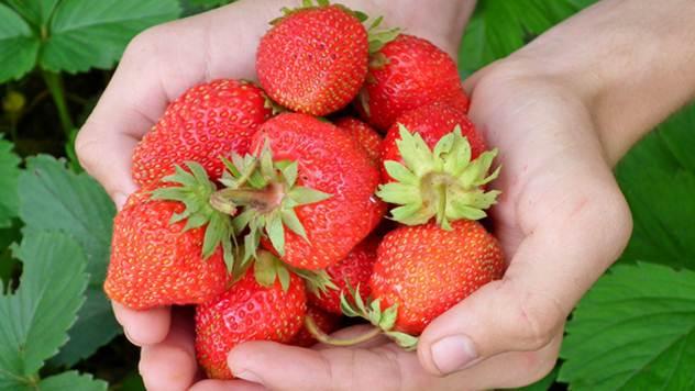 Nove sorte jagode koje daju bolje prinose - © Pixabay