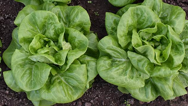 Zelena salata © Pixabay