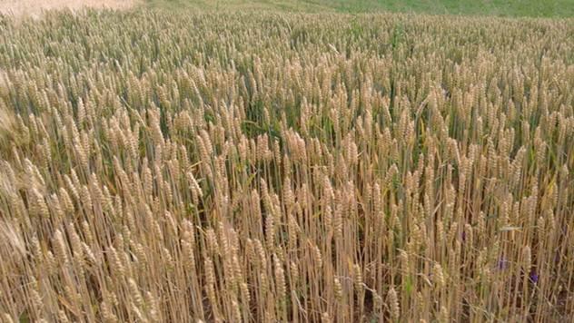 Gajenje pšenice - © Galenika-Fitofarmacija