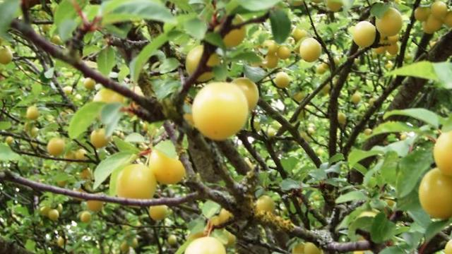 Saveti za početnike: Koje voće može da se kalemi i kako da to sami uradite - © Agromedia