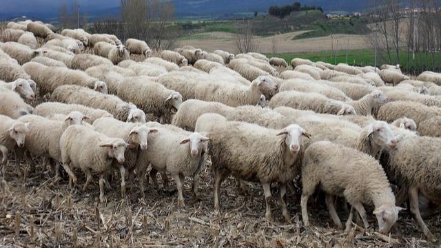 Šta muči stočare i zašto su pojedini ovčari na ivici egzistencije? © Pixabay