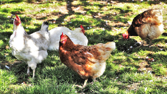 Sačuvajte kokoške od toplotnog udara: Evo šta treba uraditi tokom vrelih letnjih dana- ©Agromedia