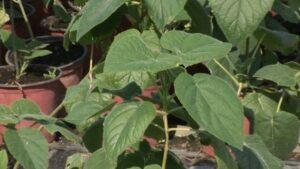 Sadnice paulovnije