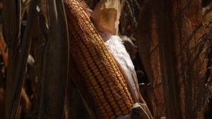 "Kukuruz © Institut za kukuruz ""Zemun Polje"""