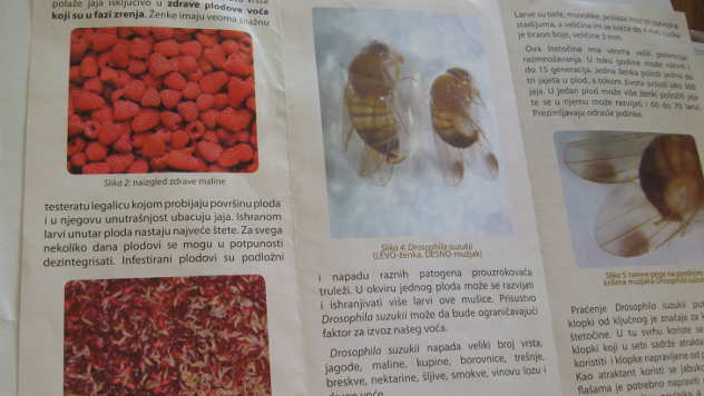 Azijska mušica - © Foto: Biljana Nenković