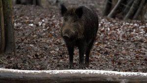 Divlja svinja © Agromedia