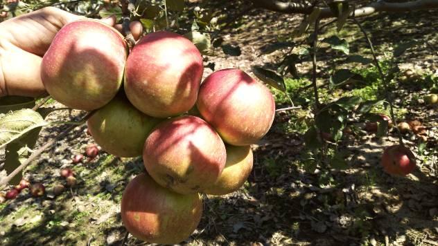 Kakva je sudbina našeg voća? - © Dejan Davidović / Agromedia