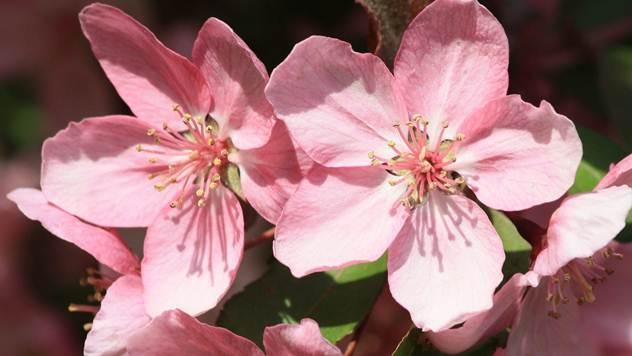 Cvet japanske trešnje - © Pixabay