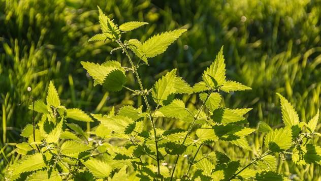 Ideja za sadnju: Hobi ili komercijalni uzgoj koprive - © Pixabay