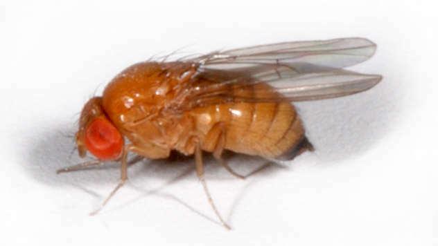 Ženka azijske mušice - © Foto: wikipedia.org