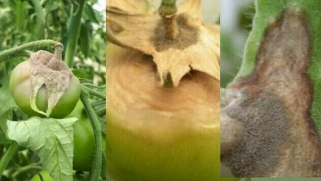 Zaštita paradajza od truleži - © Agrounik