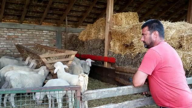 Koja je najbolja rasa ovaca za gajenje: virtemberg ili pramenka? - © Julijana Kuzmić