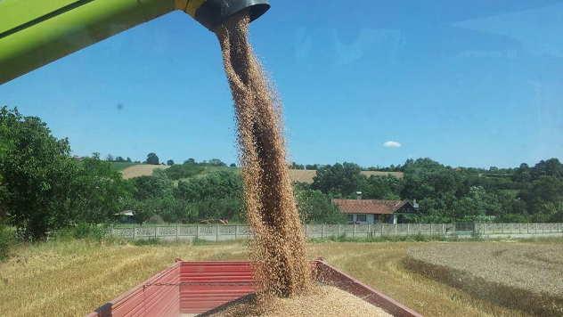Rekordni prinosi pšenice u Braničevskom okrugu © Foto: Elena Marjanović