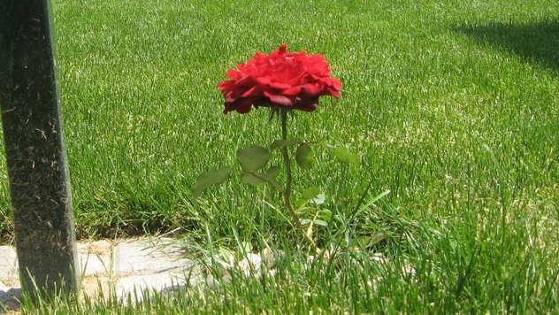 Ruža na travnjaku - © Foto: Biljana Nenković